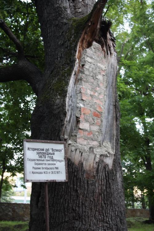 Исторический дуб
